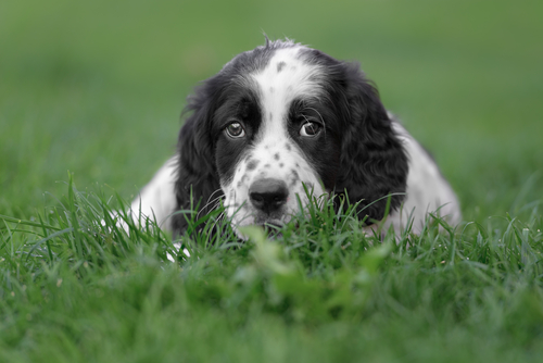 An English setter puppy lying in the grass