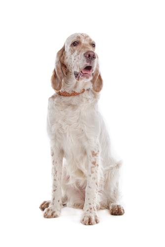 An English setter with liver-colored belton sitting against white backdrop