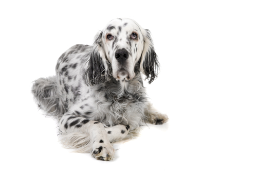 A blue-colored belton English setter lying down against white backdrop