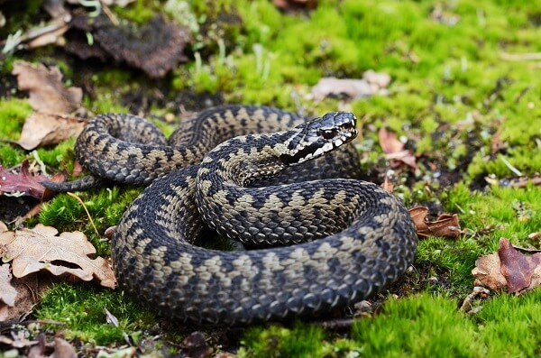 A common Europea adder coiled up ready to strike