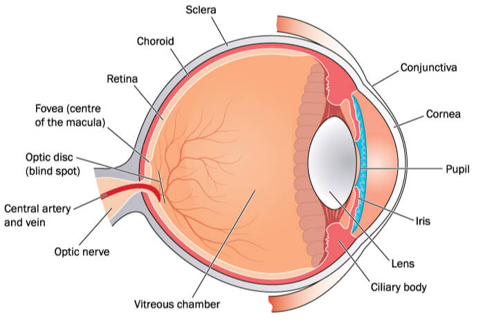 Graphic view of structure of human eye