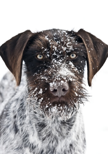 A German wirehaired pointer portrait with snow on its face