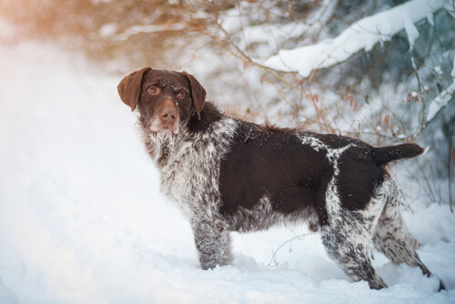 A German wirehaired pointer standing in the snow looking back over its shoulder