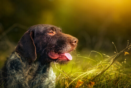 A German wirehaired pointer panting with a fantastical green and yellow forest backdrop