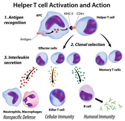 Helper T cell activation flow chart when presented with an antigen to result in phagocyte recruitment