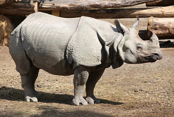 An Indian rhinoceros standing against brown dirt and timber background