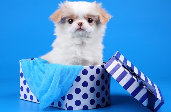 A baby Japanese Chin puppy with very crooked eyes.