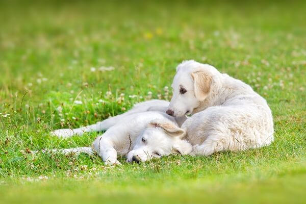 Kuvasz puppies play in the grass, but also keep an eye on the flock they are learning to care for.