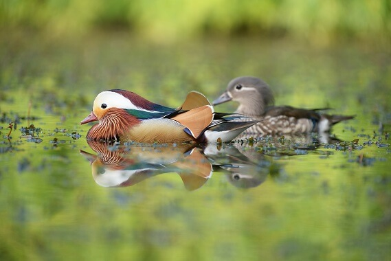 A male and female mandarin duck on the water.