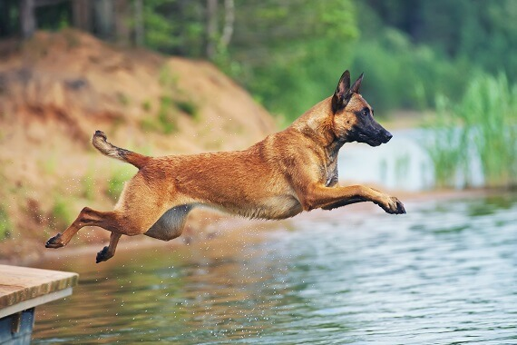 Malinois jumping into the water