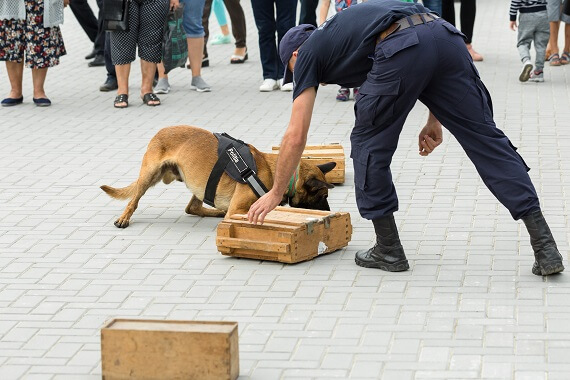 Malinois training with a police officer