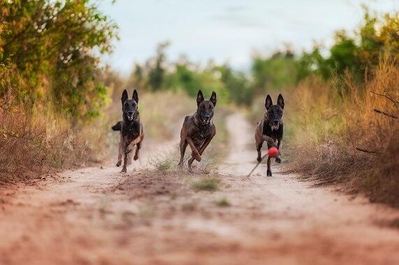 Three Malinois dogs running