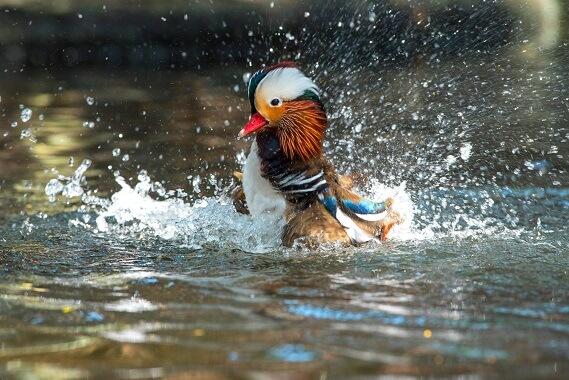 A male mandarin duck splashing in the water