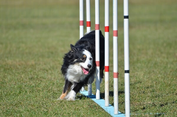 A mini American Shepherd runs through a complex agility course - one of their many talents.