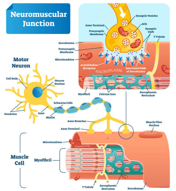Infographic detailing the release of acetylcholine from the motor neuron to the sarcolemma of the contracting muscle