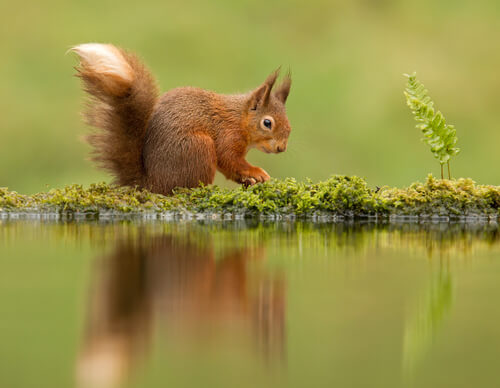 A red squirrel near the water's edge