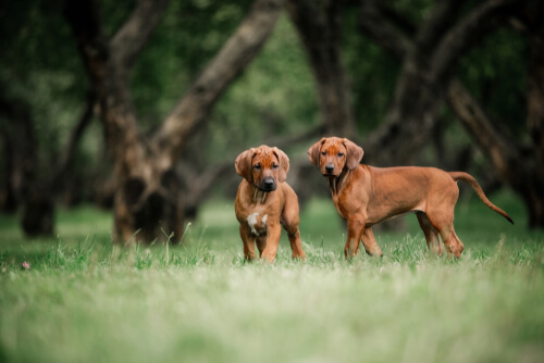 Two Young Rhodesian Ridgebacks frolicing together in a grassy forest setting
