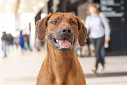 Rhodesian Ridgeback outside of a shopping centre smiling and panting