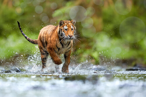 A Siberian tiger running in a shallow stream