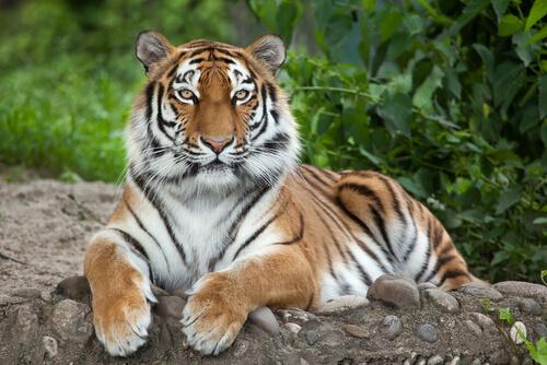A Siberian tiger sitting alert on a rock looking at camera