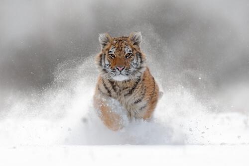 A Siberian tiger running towards viewer in deep snow