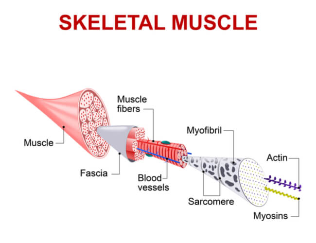 Image showing the substructures of skeletal muscle fibers from the sarcolemma to the actin and myosin filaments