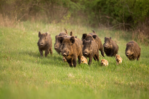A group of female boars and some piglets running in the grass