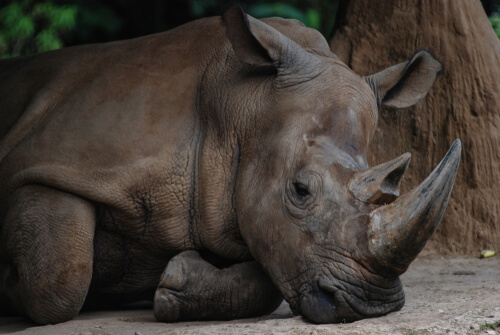 A rhinoceros resting with brown rock in background