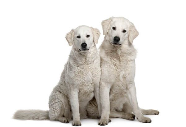The Kuvasz can grow to enormous sizes, sometimes standing over 6 feet tall on its hind legs.