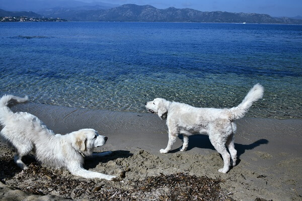 Two Kuvasz dogs play on the shore of a lake, showing they can be as fun as they are fierce.