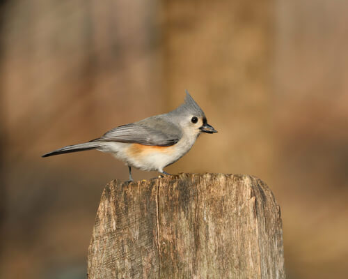 A titmouse finishing its meal while perched on an fence post