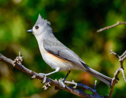 A Tufted Titmouse faces away from the camera while perched on a branch