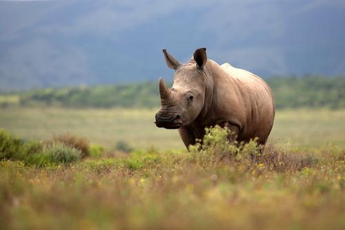 White rhinoceros walking in a green grassland