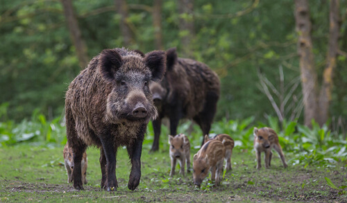 Two adult boar and five piglets grazing near a forest edge