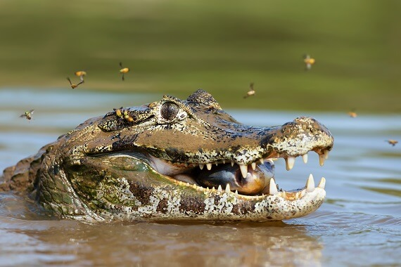 Yacare caiman with a piranha in its mouth