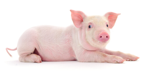 A young domestic pig against a white backdrop