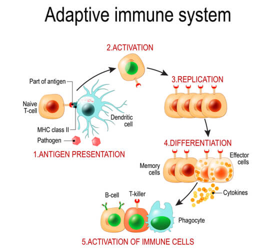 Diagram showing the activation and differentiation of T cells from dendritic cells