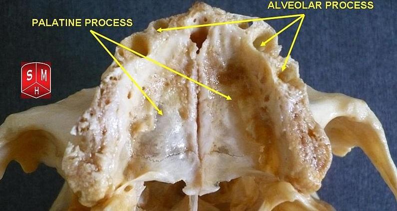 alveolar process of maxilla bone maxillary