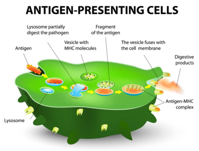 Green antigen-presenting cell showing the stepwise processing in which antigens move through the cell and onto the MHC