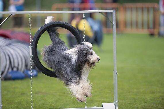 A bearded collie jumping through a hoop