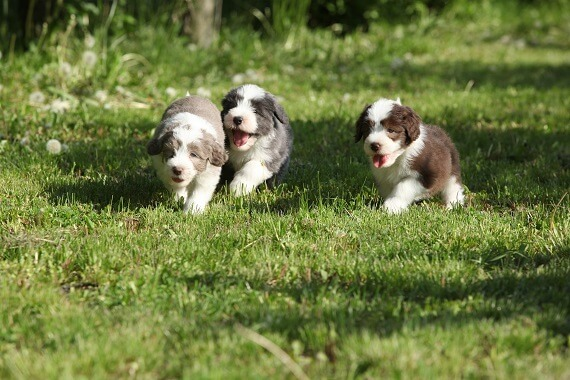 Three bearded collie puppies playing