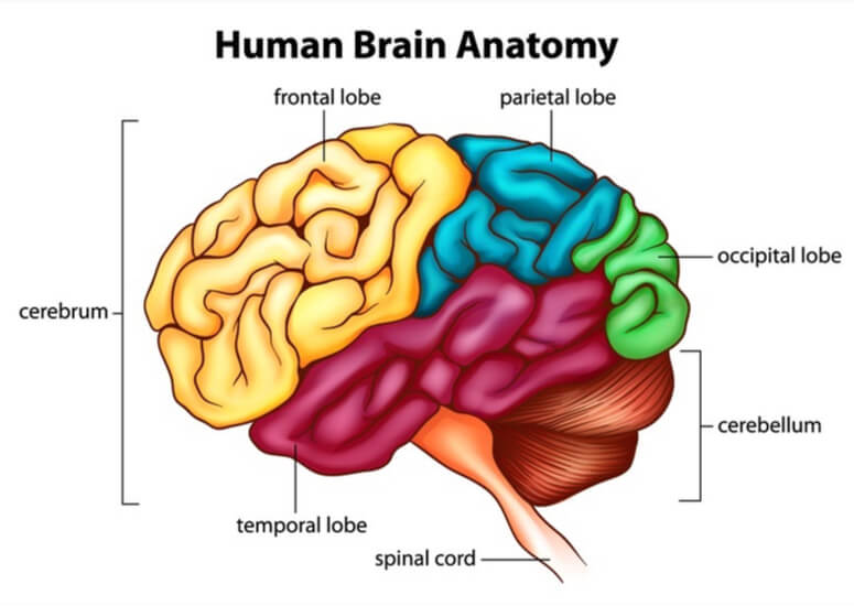 Brain sectioned by color and labeled for frontal, parietal, temporal, and occipital lobes, as well as cerebellum and spinal cord