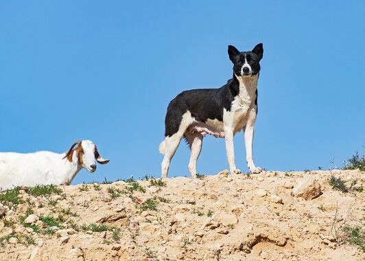 Black and white canaan dog and a goat on a hill