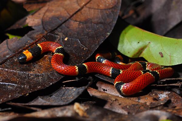 Central American coral snake in leaf litter