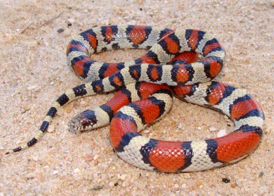 Central plans milks snake resting on sand and gravel