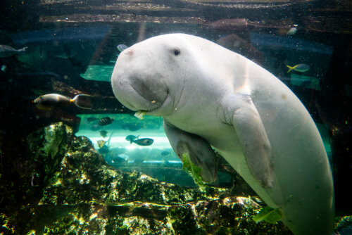 Dugong swimming and looking at camera with fish in background