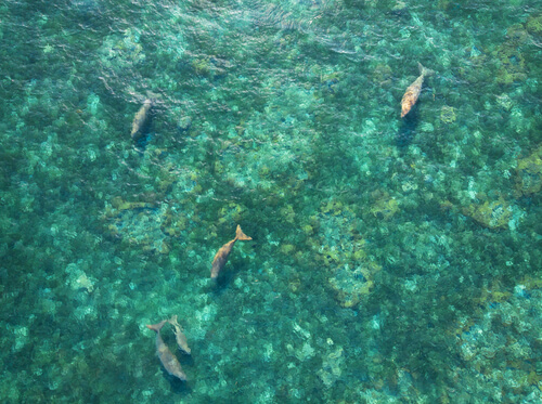 Several dugongs feeding in shallow waters viewed from above