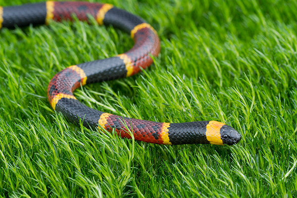 A coral snake against a green grassy background