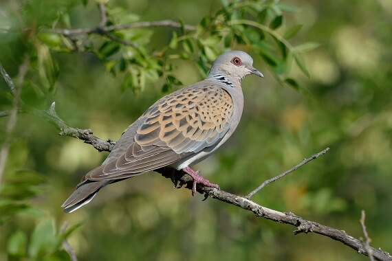 A European turtle dove on a branch