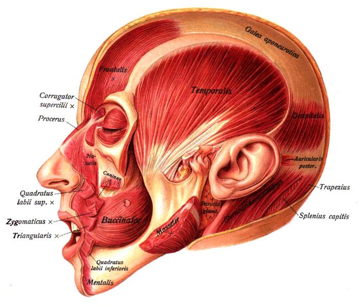 face muscles frontalis temporalis corrugator supercilii procerus galea aponeurotica frontal bone parietal temporal occipital